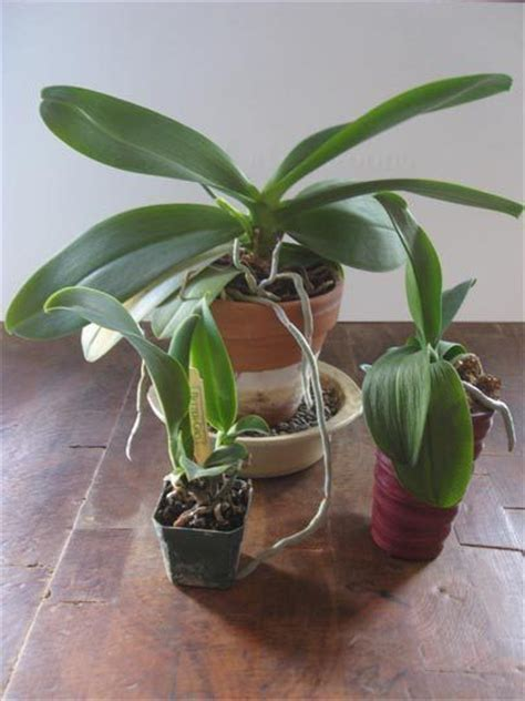 repotting orchids in bloom how to repot an orchid therapy apartment therapy and one pot