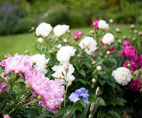 perennial plant care power perennials plants that thrive no matter what peony care hibiscus and vintage wooden crates