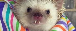Huff the Hedgehog's Buck Teeth Are Guaranteed to Make You ...