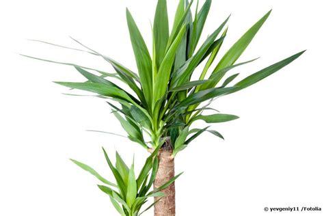 Yucca Palme Wie Oft Gießen yucca palme gie 223 en wie oft wie viel infos f 252 r das