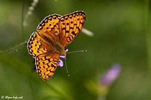 Schmetterling Am Kinderbett : insekten alpen ~ Lizthompson.info Haus und Dekorationen