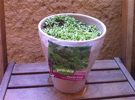 semer persil en pot faire pousser du persil en pot