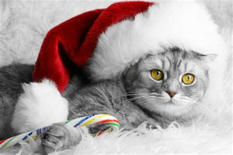 santa cat cats animals background wallpapers