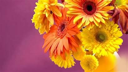 Daisies Gerbera Daisy Gerber Gerberas Wallpapers Flower
