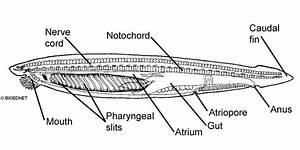 Zoology Cephalocordata And Vertebrata At Lagrange College
