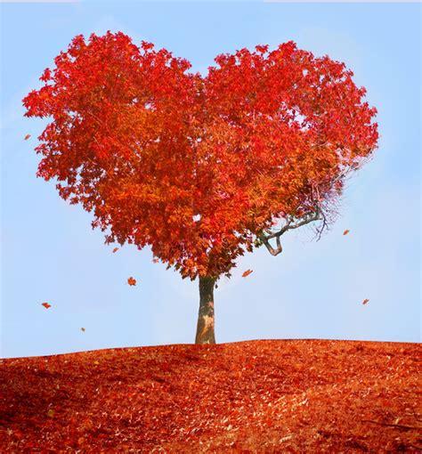 how to shape a maple tree heart shaped maple trees stock photo health stock photo