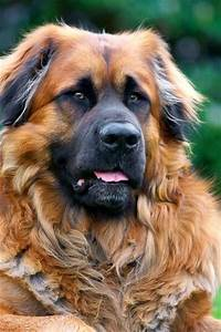 The Leonberger is a giant dog breed. The breed's name de ...