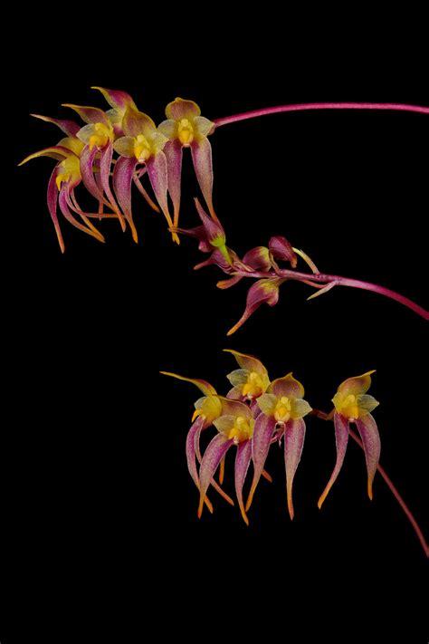 Bulbophyllum planibulbe | Orchids Forum