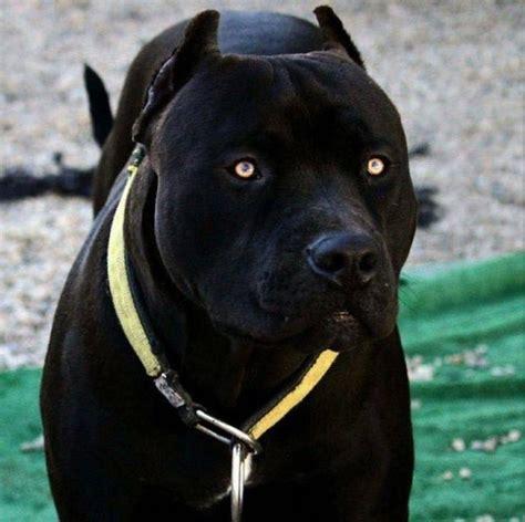 pantera negra conheca  pit bull  conquistou