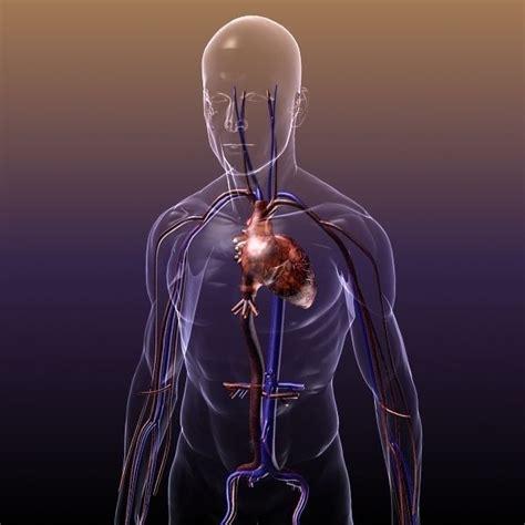 circulatory system anatomy   human body  model max