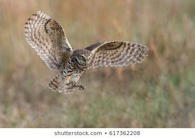 Burrowing Owl Group