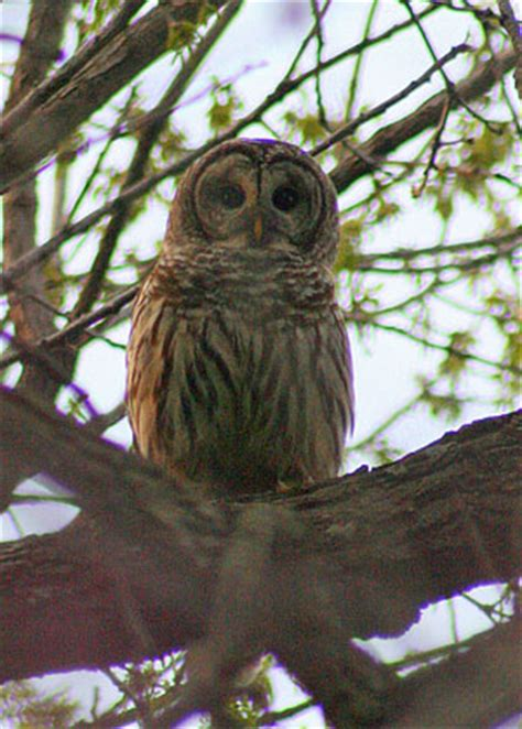 prairie village resident captures photo barred owl