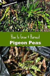 How To Grow Pigeon Peas