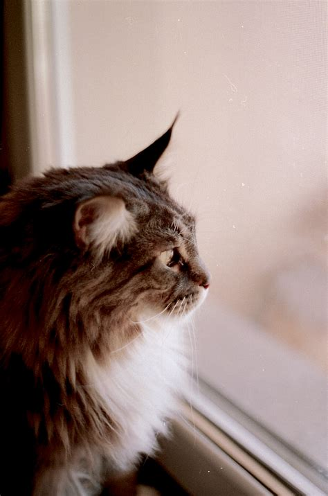 brown  gray haired cat    glass window
