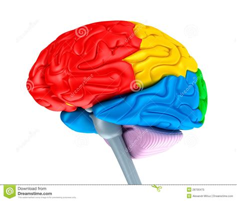 what color is a brain brain lobes in different colors isolated on white stock