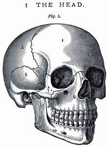 6 Skull Images - Vintage Anatomy Clip Art