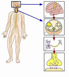 File Somatic Nervous System Image Svg