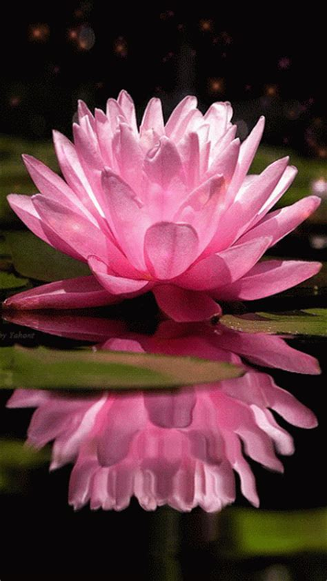 animated water lily pictures   images