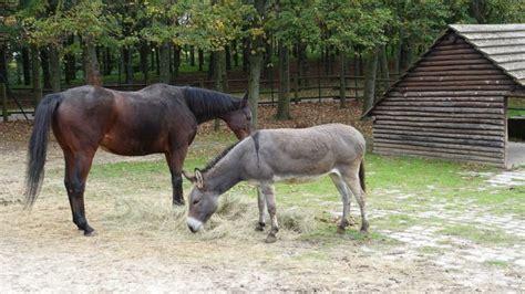 companion donkey horses animals well need work mule