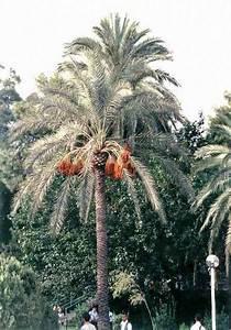 Phoenix Canariensis Pflege : palmen pflege der palme phoenix canariensis dactylifera ~ Lizthompson.info Haus und Dekorationen