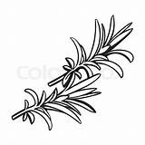 Rosemary Herbs Spices Vector Drawing Sketch Outline Realistic Herb Ingredients Leaf Leaves Illustration Hand Mint Colourbox Getdrawings Space Text Background sketch template