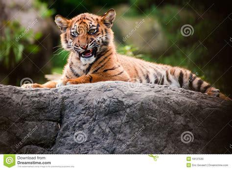 Cute Sumatran Tiger Cub Stock Photo Image Carnivore