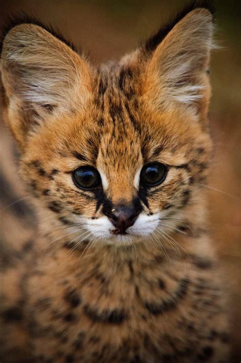 African Serval Cat Tumblr