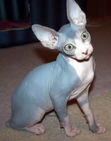blue sphynx cat blue sphynx yes it s actually a cat cats great