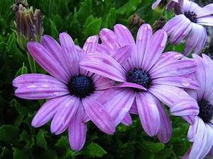 pretty purple daisy flowers photo.jpg (2 comments) Hi