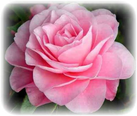 beautiful pink rose pictures   images