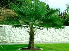 how to make kitchen island trachycarpus fortunei hardy chusan windmill fan palm