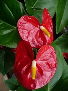 Grande Plante D Intérieur Facile D Entretien : plante fleurie d 39 int rieur facile d 39 entretien images ~ Premium-room.com Idées de Décoration