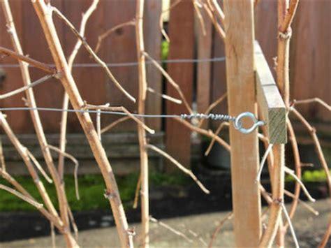berry delicious planting  backyard berry patch parentmap