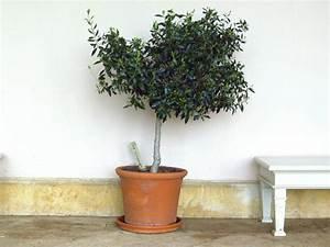 Planter Un Olivier En Pot : comment et quand tailler un olivier taille de l olivier ~ Dode.kayakingforconservation.com Idées de Décoration