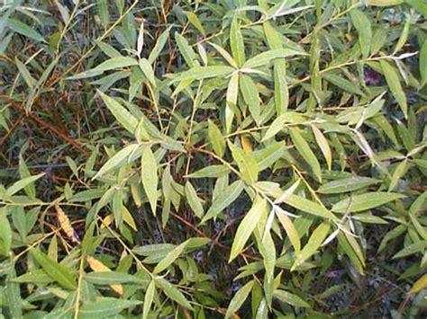 Salix sp. - Willow