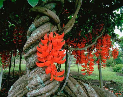 red jade vine mucuna bennettii  garden  eaden