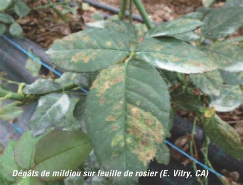 chambre d agriculture 36 le mildiou du rosier bulletin de santé du végétal