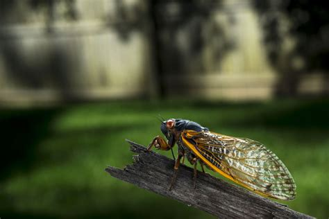 time lapse of cicada shedding shell video shows time lapse