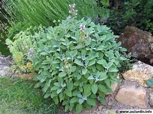 La Sauge Plante : sauge officinale salvia officinalis conseils de culture ~ Melissatoandfro.com Idées de Décoration