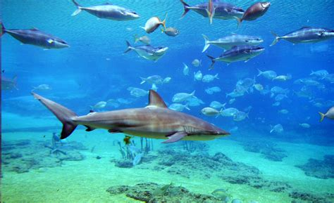 Pics Of White Tiger Shark Bay The Spectacular Under Water View From Shark Bay Flickr