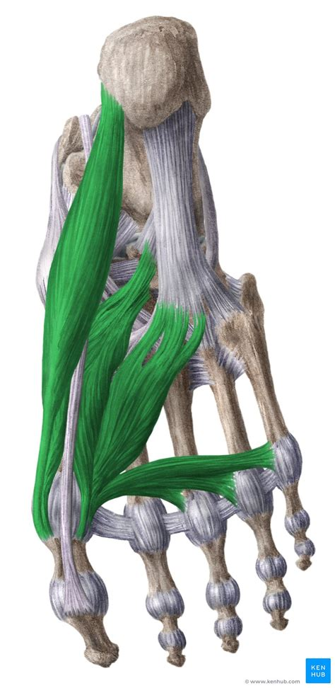 medial plantar muscles   foot anatomy kenhub