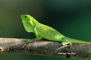 (Bronchocela cristatella) Green Crested Lizard photo ...