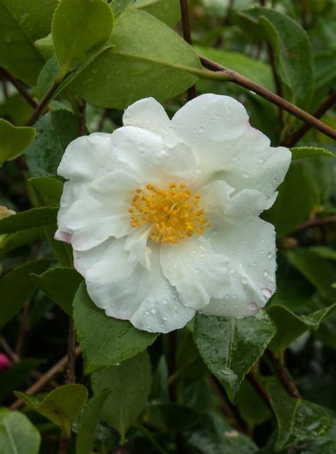 white flower varieties 56 best images about camellias on pinterest popular the flowers and an eye