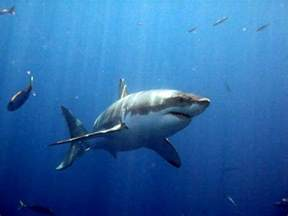 Great White Shark Real Life