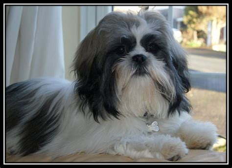 Shih Tzu Lhasa Apso Shedding by Lhasa Shih Mix Pictures Breeds Picture Breeds