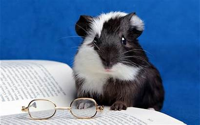 Guinea Pig Animal Background Wallpapers
