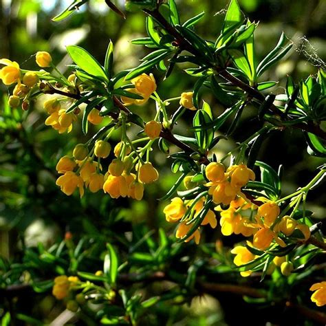 planting flowers in berberis x stenophylla hedge plants berberis evergreen hedging