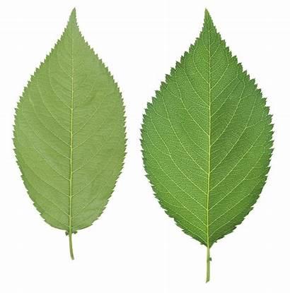 Leaves Single Leave Clipart Transparent Leaf Daun