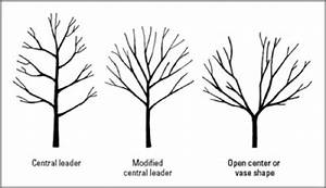An Introduction To Pruning Apple Trees