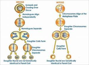 Learning Mitosis  Cell Division Diagram